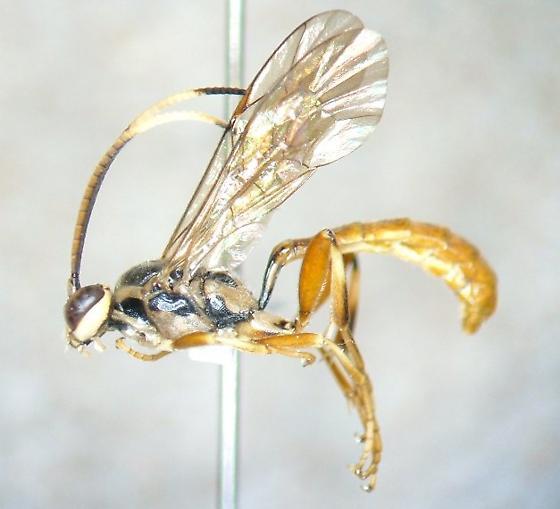 Ichneumonid 4 - Cratichneumon - male