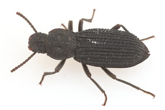 Tenebrionid - Nyctoporis