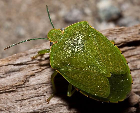 Green Pentatomid - Chinavia hilaris