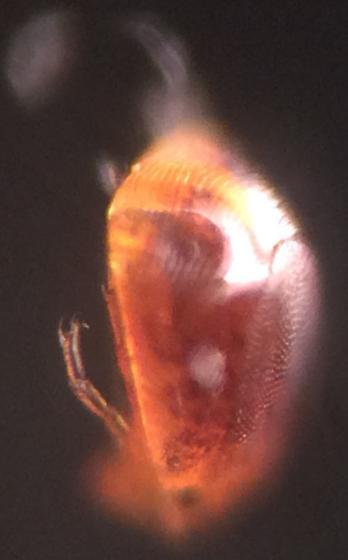 Parasitic mites on midge