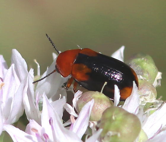 Unknown Beetle - Anomoea