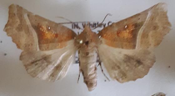 S. libatrix - Scoliopteryx libatrix - female