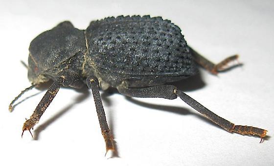 Death Feigning Beetle - Asbolus verrucosus
