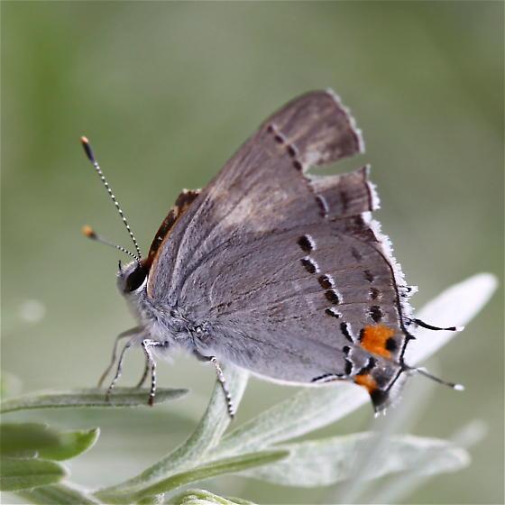 Lycaenidae: Strymon melinus - Strymon melinus