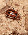 Bean Leaf Beetle - Cerotoma trifurcata