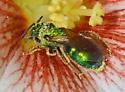 ? - Augochloropsis - female