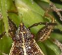 Bog bug with biceps like Popeye, Oedancala dorsalis - Oedancala dorsalis