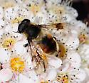 Unknown Fly - Eristalis anthophorina