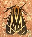 Apantesis carlotta - Carlotta's Tiger Moth? - Apantesis carlotta-nais-phalerata-vittata