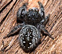 Large Jumping Spider - Phidippus purpuratus