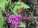 Hummingbird-like Bug? - Hemaris thysbe