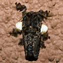 Hag Moth - Hodges#4677 - Phobetron pithecium