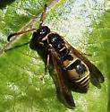 Potter Wasp - Ancistrocerus