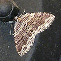 Many-lined Carpet Moth - Hodges #7330 - Anticlea multiferata