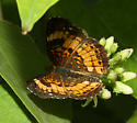 Pearl Crescent? - Chlosyne nycteis