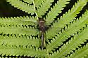 Common Baskettail - Epitheca