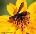 Fly - Beskia aelops