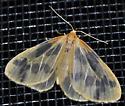 Eubaphe mendica