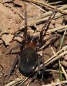 Mouse spider? - Metaltella simoni