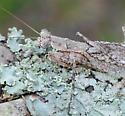 mantis - Gonatista grisea - male