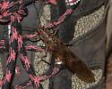 Fishfly? - Pteronarcys
