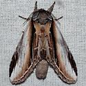Black-rimmed Prominent Moth - Pheosia rimosa