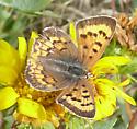 purplish copper - Lycaena helloides - female