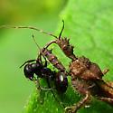 Spiny Assassin Bug - Sinea spinipes? - Sinea