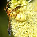Euodynerus male, golden - Euodynerus auranus - male