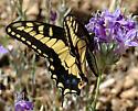 Papilio zelicaon - male