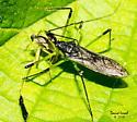 Assassin Bug Eating Fly - Zelus luridus