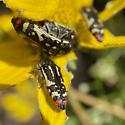 Acmaeodera amabilis? - Acmaeodera amabilis - male - female