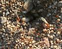 . - Dorymyrmex bicolor