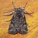 Unidentified Moth - Lacinipolia anguina
