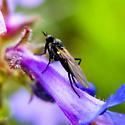 Empididae sp. - Rhamphomyia