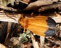 Netwing Beetle - Lycus fernandezi