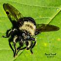 Bumble Bee Mimic - Laphria huron - female