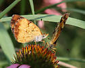 Butterfly, sp.? - Phyciodes