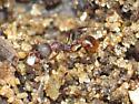 Ants & Copepod? - Aphaenogaster fulva