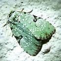 Green Leuconycta Moth - Leuconycta diphteroides