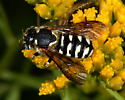 Unknown bee mimic (?) - Dianthidium