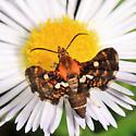 Spotted Thyris - Thyris maculata