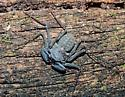 What Species? - Phrynus marginemaculatus