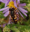 Yet another syrphid fly! - Helophilus fasciatus - male