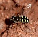 syrphus Fly? - Eupeodes volucris