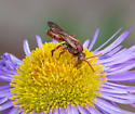 red wasp or fly - Nomada - female