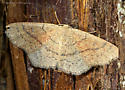 Unknown Moth - Cyclophora dataria - female