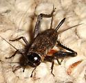 Cricket found in bathroom - Gryllus - female