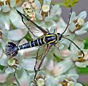 Carmenta phoradendri? on milkweed  - Carmenta auritincta