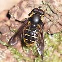 Syrphid Fly - Sericomyia chalcopyga - male